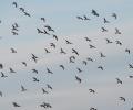 Κυνήγι μεταναστευτικών πουλιών. Έρευνα της ΣΤ ΚΟΜΑΘ που δημοσιεύτηκε στο διεθνές επιστημονικό περιοδικό Wildlife biology