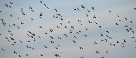 Σε πλήρη εξέλιξη τα περάσματα των μεταναστευτικών θηρεύσιμων πτηνών