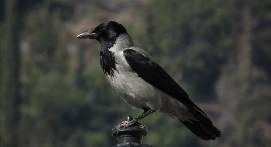 Σταχτοκουρούνα – Corvus corone cornix