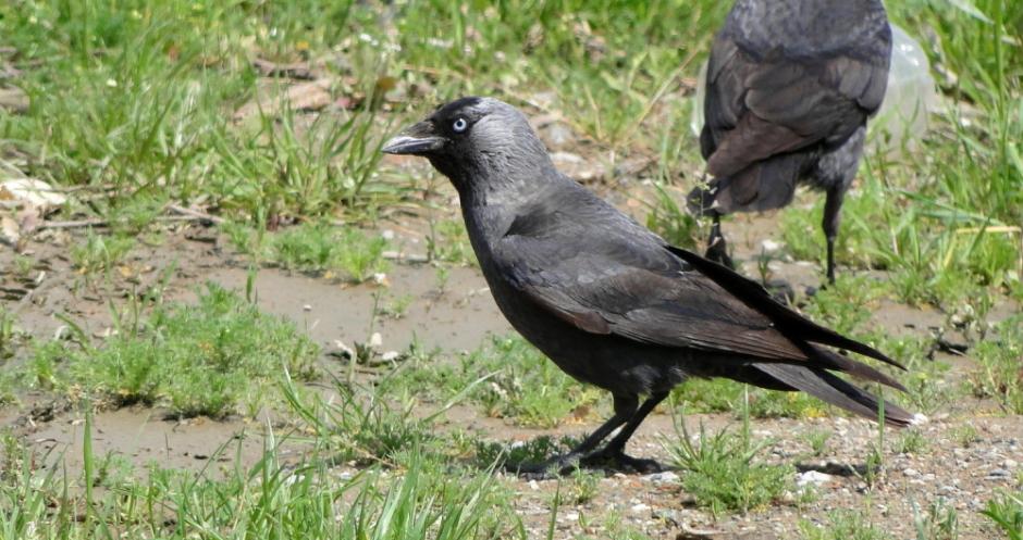 Κάργια – Corvus monedula