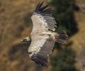 Κυνηγοί βρήκαν δηλητηριασμένα όρνια στο όρος Πίνοβο της Πέλλας