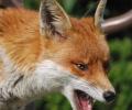 Αποζημίωση 50 ευρώ για κάθε αλεπού που εντοπίζεται νεκρή και μεταφέρεται στην Κτηνιατρική Υπηρεσία