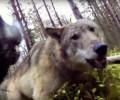 Άλλα τρία νεκρά κυνηγόσκυλα από λύκους στη Βέροια