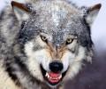 Ασταμάτητες οι επιθέσεις λύκων σε κυνηγόσκυλα στην Ημαθία