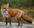 Πού θα πέσουν εμβόλια για τις αλεπούδες κατά της λύσσας τον Απρίλιο και το Μάιο
