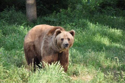 Εμφανίστηκε αρκούδα στην περιοχή της Σφηκιάς Ημαθίας