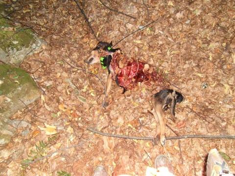 Ακόμη ένα κυνηγόσκυλο θύμα των λύκων στην Κουμαριά