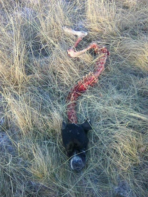 Άλλο ένα κυνηγόσκυλο θύμα των λύκων στο Βέρμιο