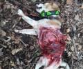 Επίθεση λύκου σε κυνηγόσκυλο στην περιοχή της Φυτειάς